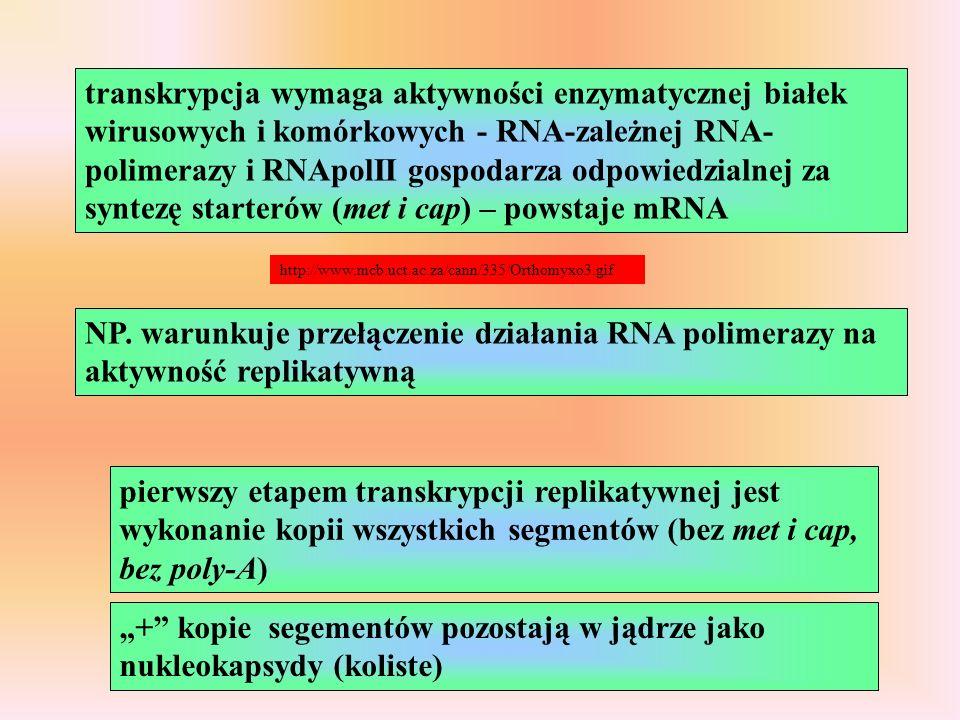 """""""+ kopie segementów pozostają w jądrze jako nukleokapsydy (koliste)"""