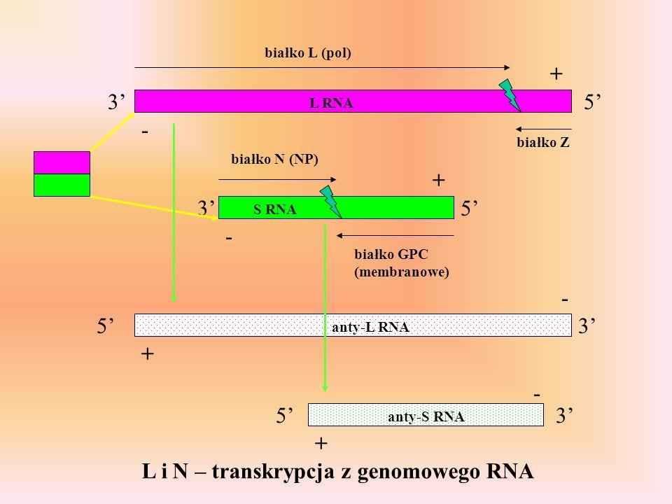 L i N – transkrypcja z genomowego RNA