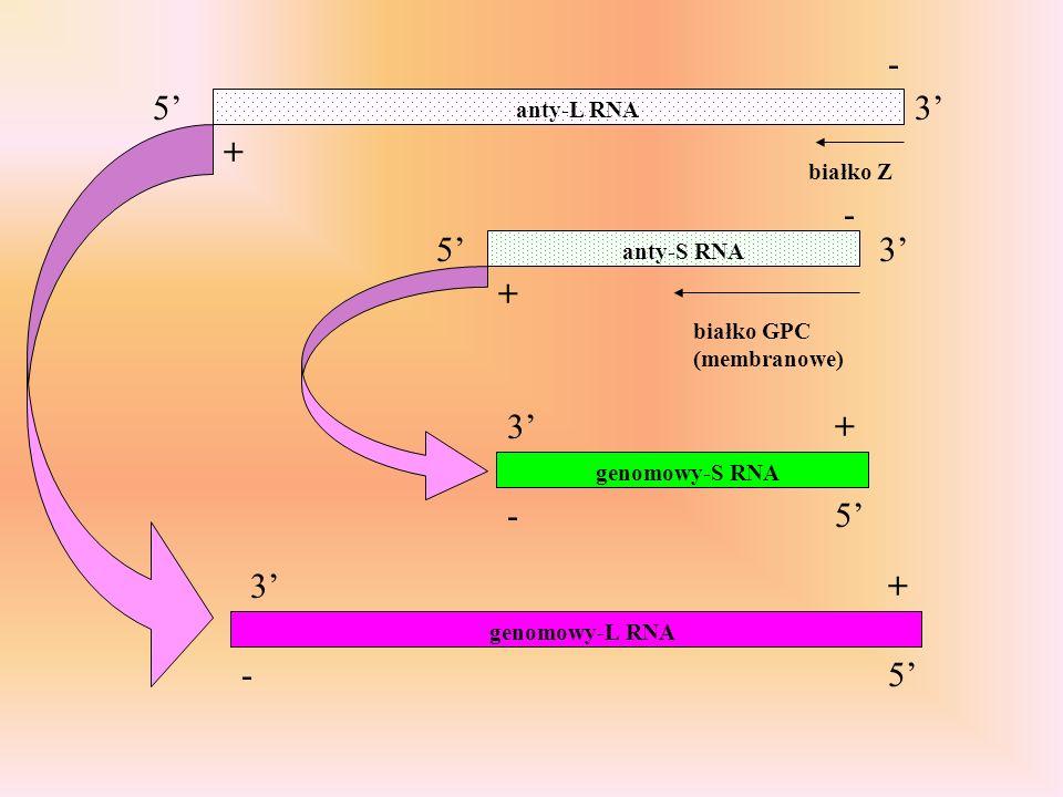 - 5' 3' + - 5' 3' + 3' + - 5' 3' + - 5' anty-L RNA białko Z anty-S RNA