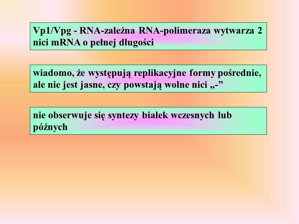 Vp1/Vpg - RNA-zależna RNA-polimeraza wytwarza 2 nici mRNA o pełnej długości