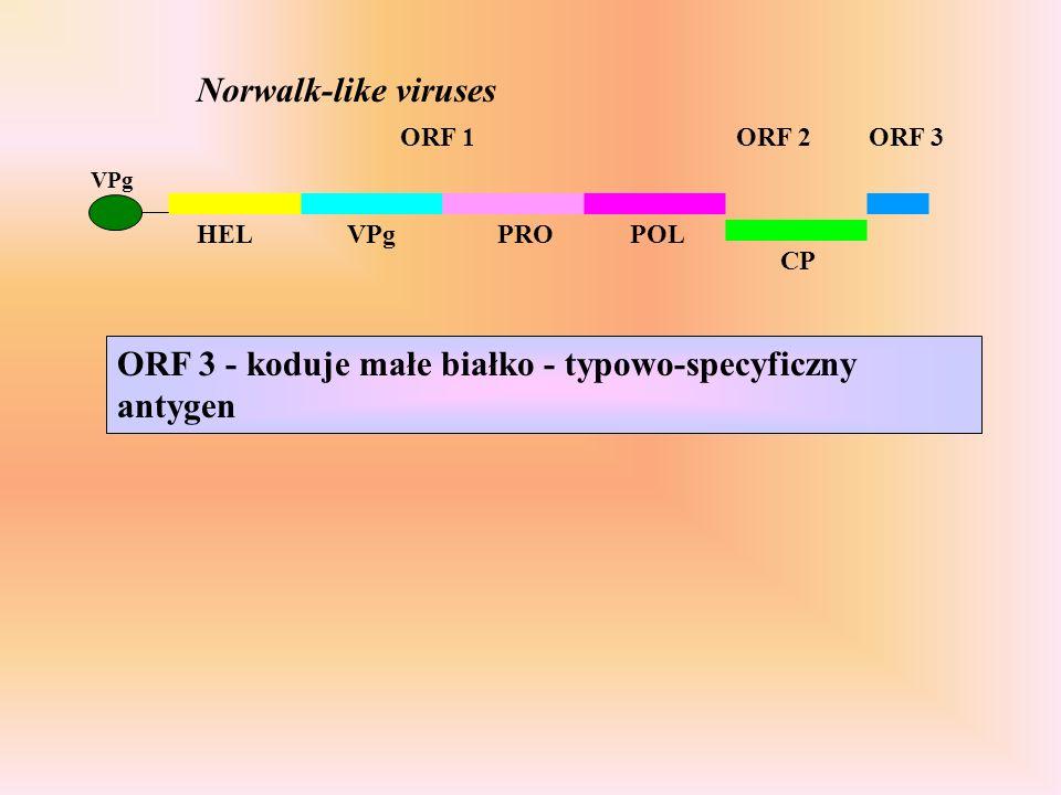 ORF 3 - koduje małe białko - typowo-specyficzny antygen