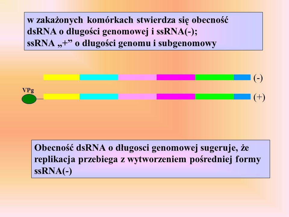 """w zakażonych komórkach stwierdza się obecność dsRNA o długości genomowej i ssRNA(-); ssRNA """"+ o długości genomu i subgenomowy"""