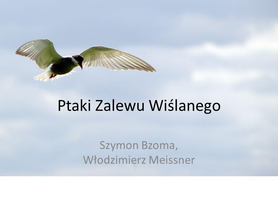 Ptaki Zalewu Wiślanego