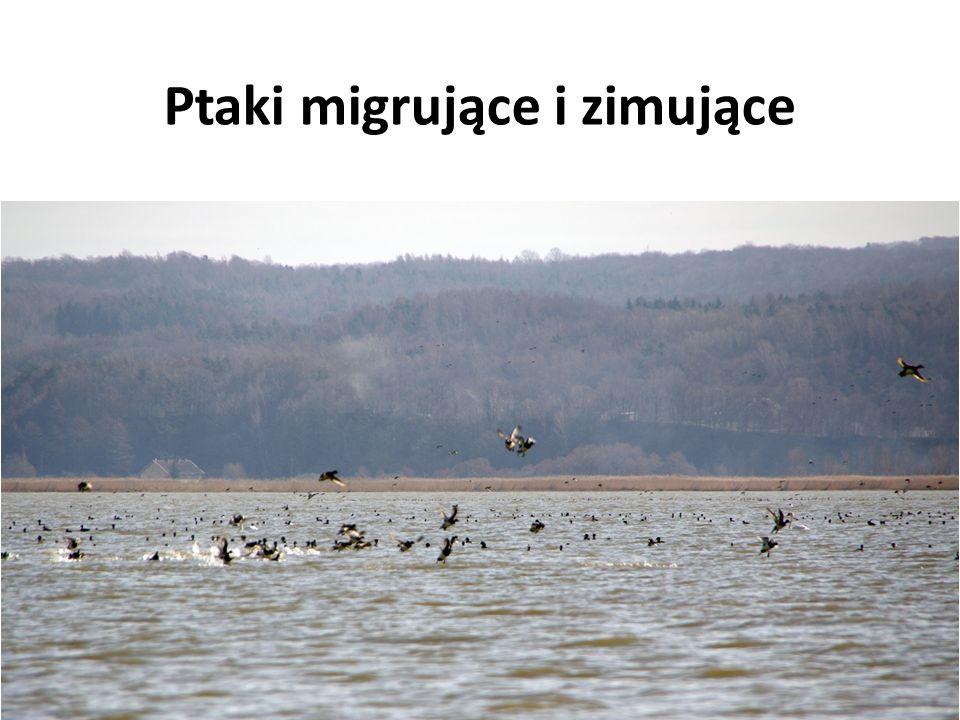 Ptaki migrujące i zimujące