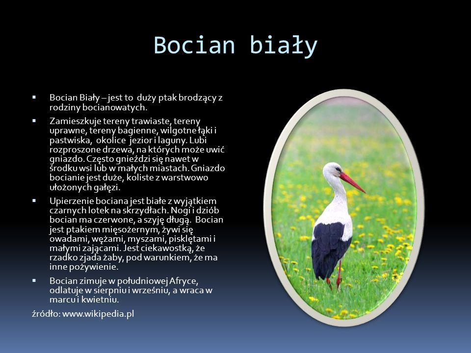 Bocian biały Bocian Biały – jest to duży ptak brodzący z rodziny bocianowatych.