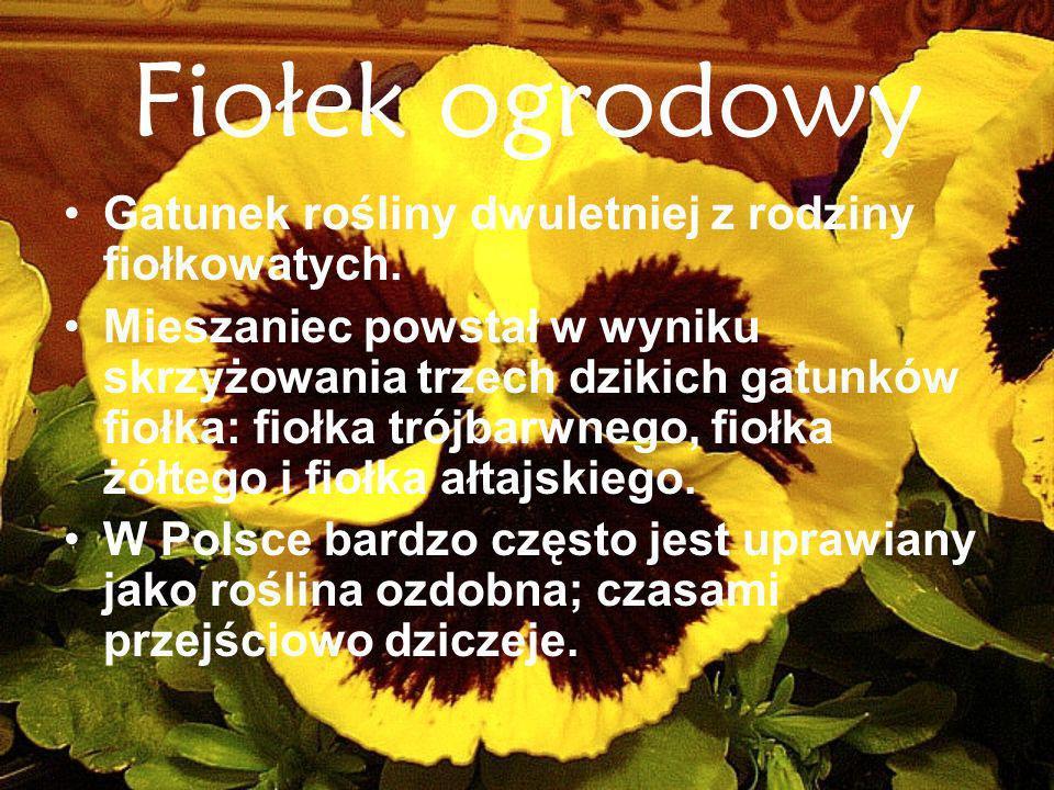 Fiołek ogrodowy Gatunek rośliny dwuletniej z rodziny fiołkowatych.