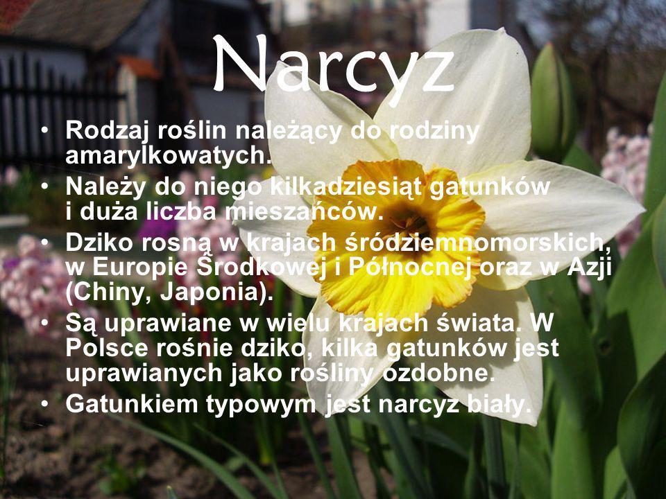 Narcyz Rodzaj roślin należący do rodziny amarylkowatych.