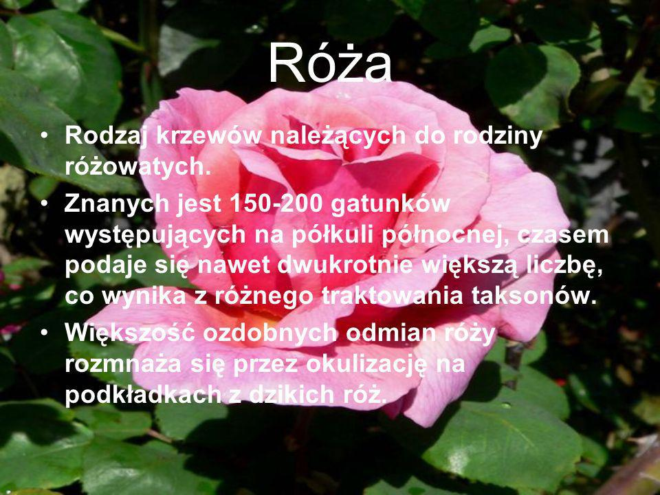 Róża Rodzaj krzewów należących do rodziny różowatych.