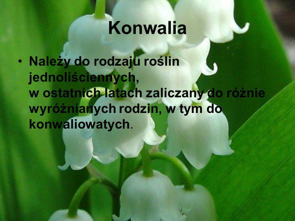 Konwalia Należy do rodzaju roślin jednoliściennych, w ostatnich latach zaliczany do różnie wyróżnianych rodzin, w tym do konwaliowatych.