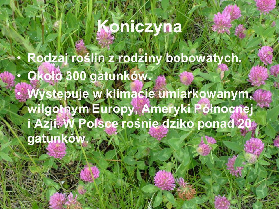 Koniczyna Rodzaj roślin z rodziny bobowatych. Około 300 gatunków.