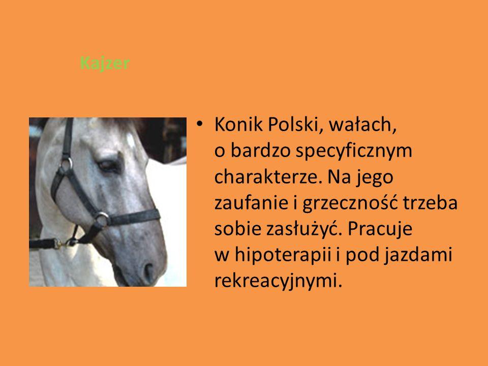 Konik Polski, wałach, o bardzo specyficznym charakterze