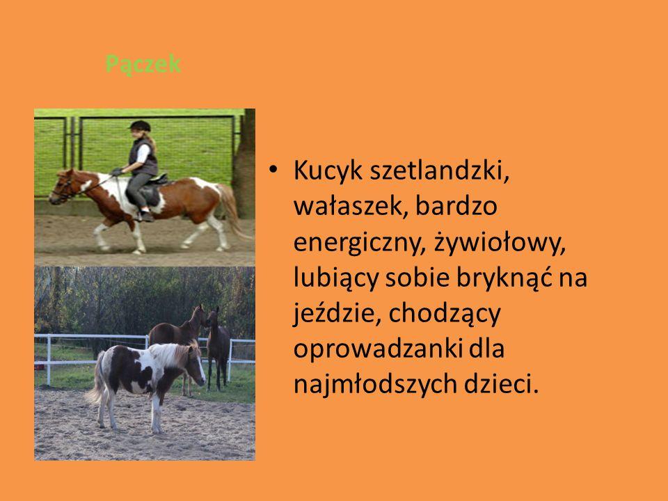 Pączek Kucyk szetlandzki, wałaszek, bardzo energiczny, żywiołowy, lubiący sobie bryknąć na jeździe, chodzący oprowadzanki dla najmłodszych dzieci.