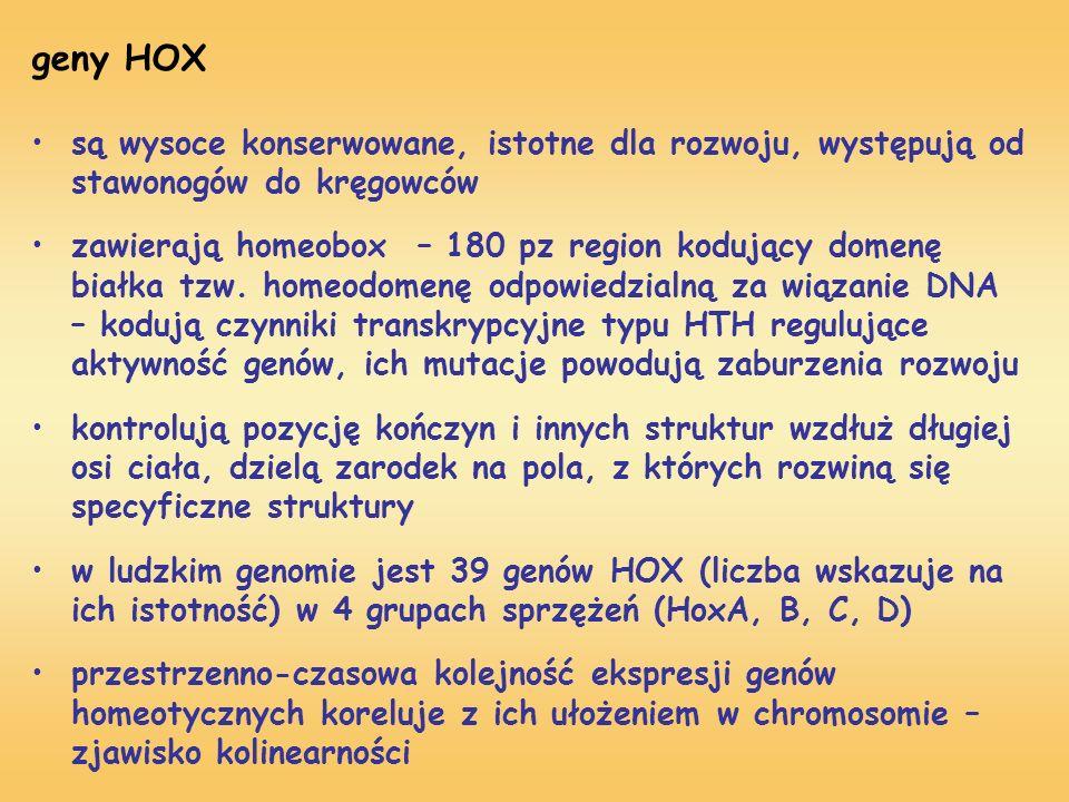 geny HOX są wysoce konserwowane, istotne dla rozwoju, występują od stawonogów do kręgowców.