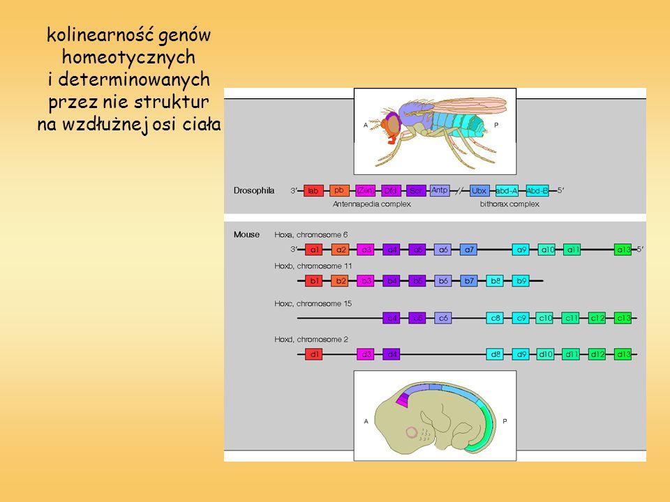 kolinearność genów homeotycznych i determinowanych przez nie struktur na wzdłużnej osi ciała