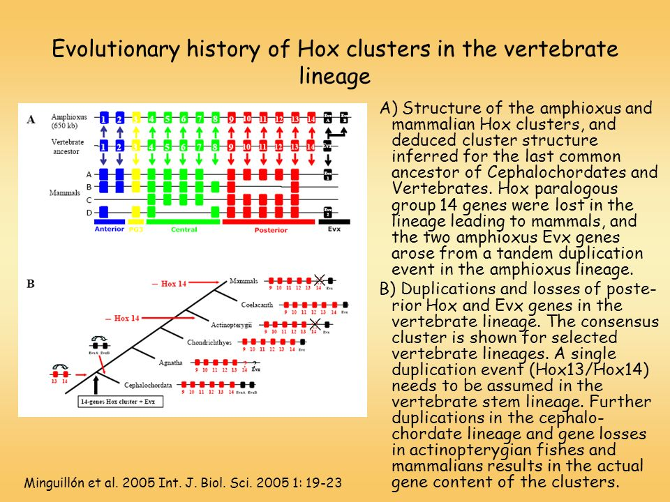 Evolutionary history of Hox clusters in the vertebrate lineage