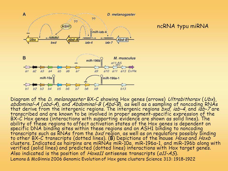ncRNA typu miRNA