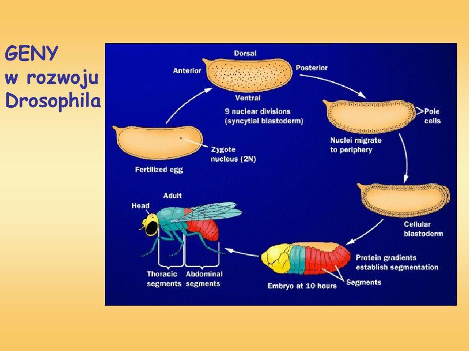 GENY w rozwoju Drosophila