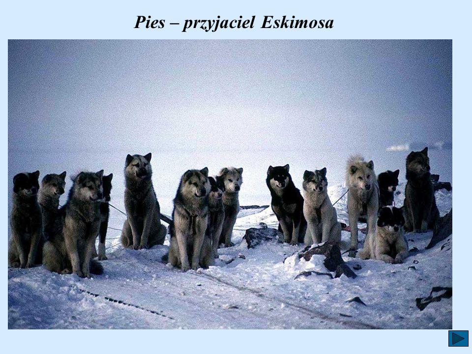 Pies – przyjaciel Eskimosa