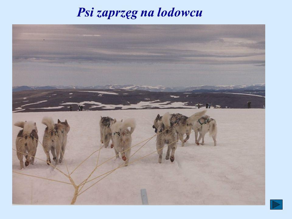 Psi zaprzęg na lodowcu