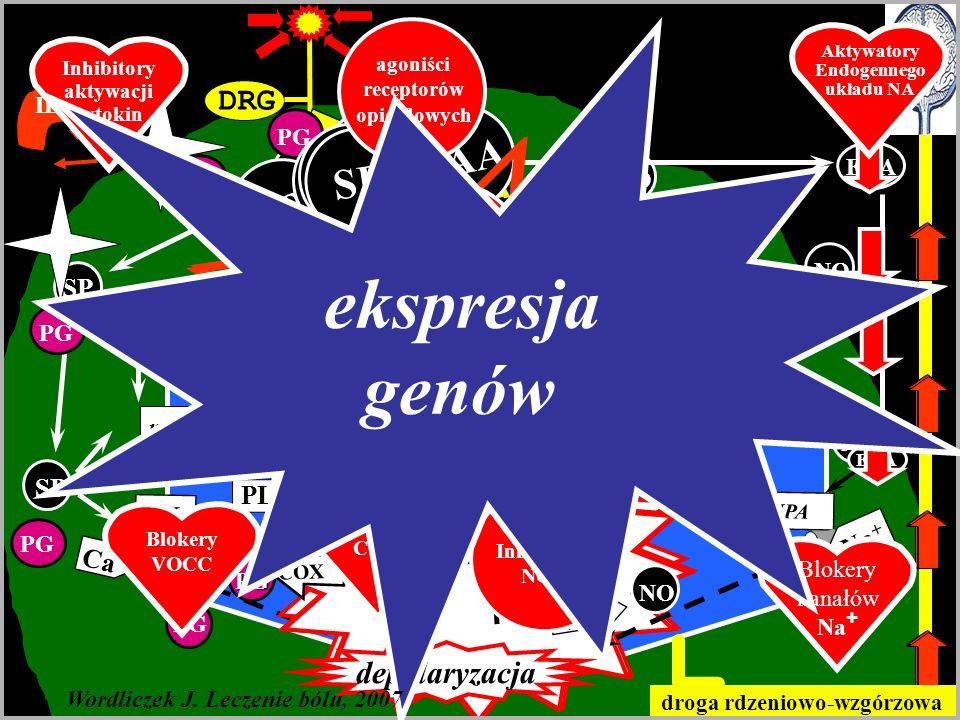 genów ekspresja Nocycepcja w OUN SP EAA SP EAA SP SP EAA SP EAA SP EAA