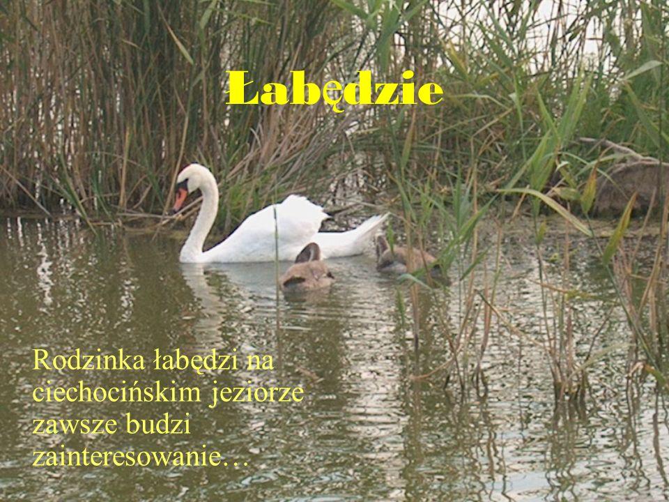 Łabędzie Rodzinka łabędzi na ciechocińskim jeziorze zawsze budzi zainteresowanie…