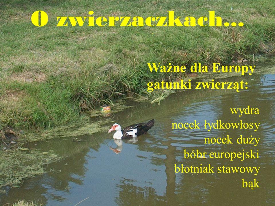 O zwierzaczkach... Ważne dla Europy gatunki zwierząt: wydra