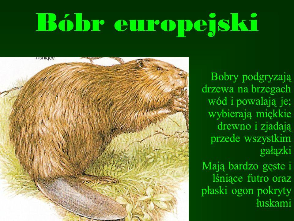 Bóbr europejski Bobry podgryzają drzewa na brzegach wód i powalają je; wybierają miękkie drewno i zjadają przede wszystkim gałązki.