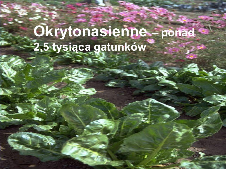 Okrytonasienne – ponad 2,5 tysiąca gatunków