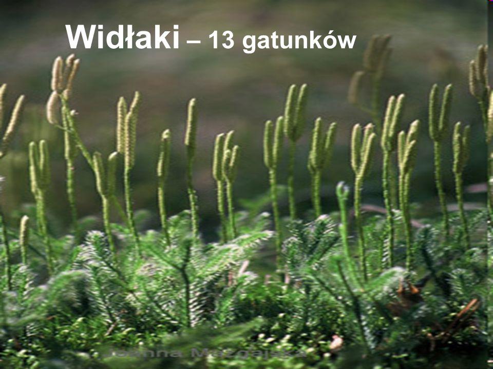 Widłaki – 13 gatunków
