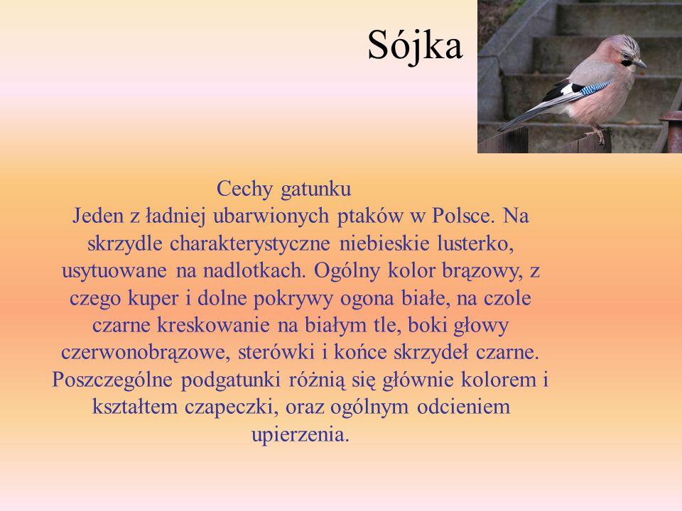 Sójka Cechy gatunku.