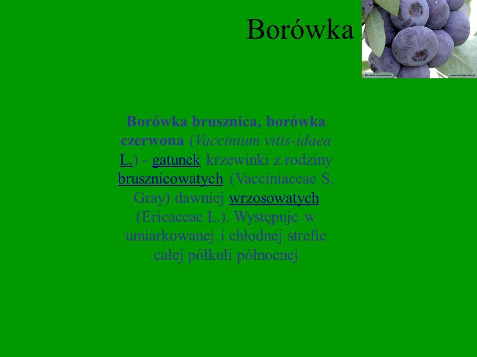 Borówka