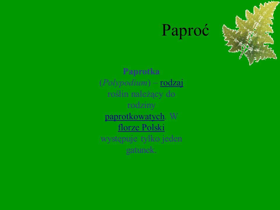 PaproćPaprotka (Polypodium) – rodzaj roślin należący do rodziny paprotkowatych.