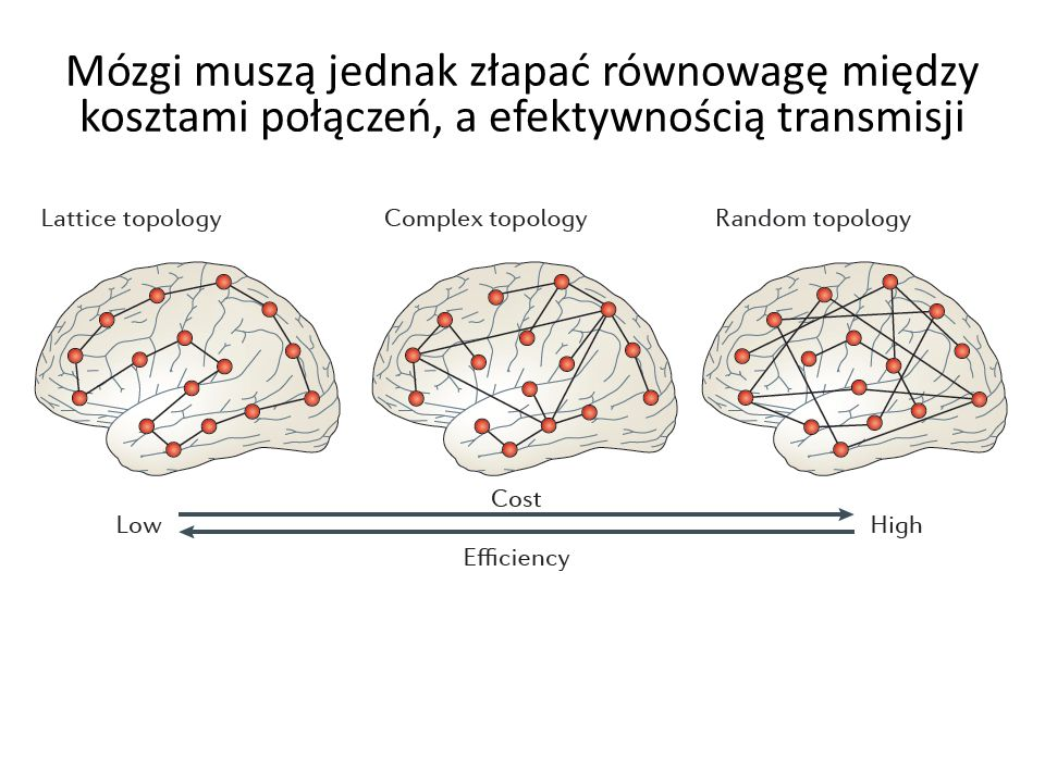 Mózgi muszą jednak złapać równowagę między kosztami połączeń, a efektywnością transmisji