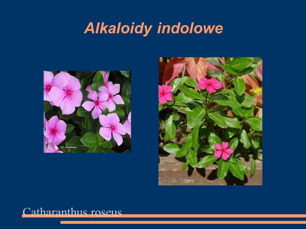 Alkaloidy indolowe Catharanthus roseus