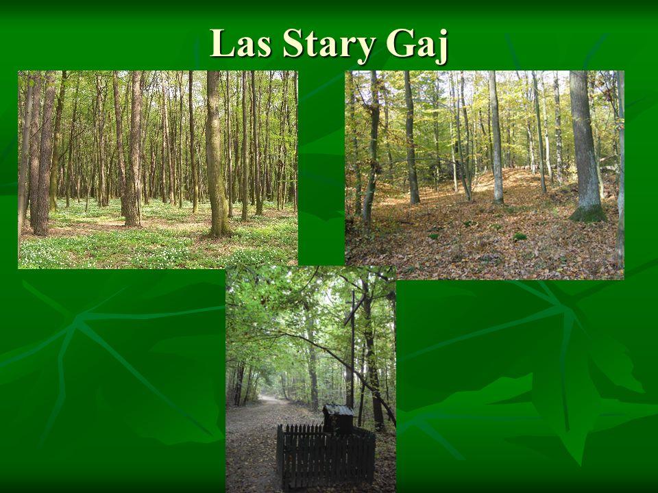 Las Stary Gaj