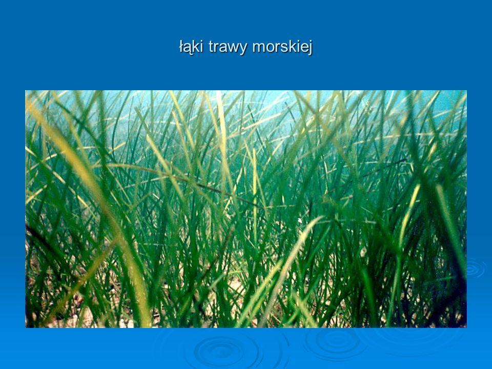 łąki trawy morskiej