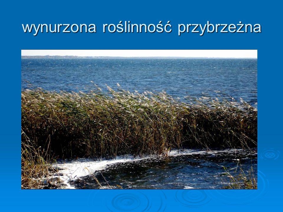 wynurzona roślinność przybrzeżna