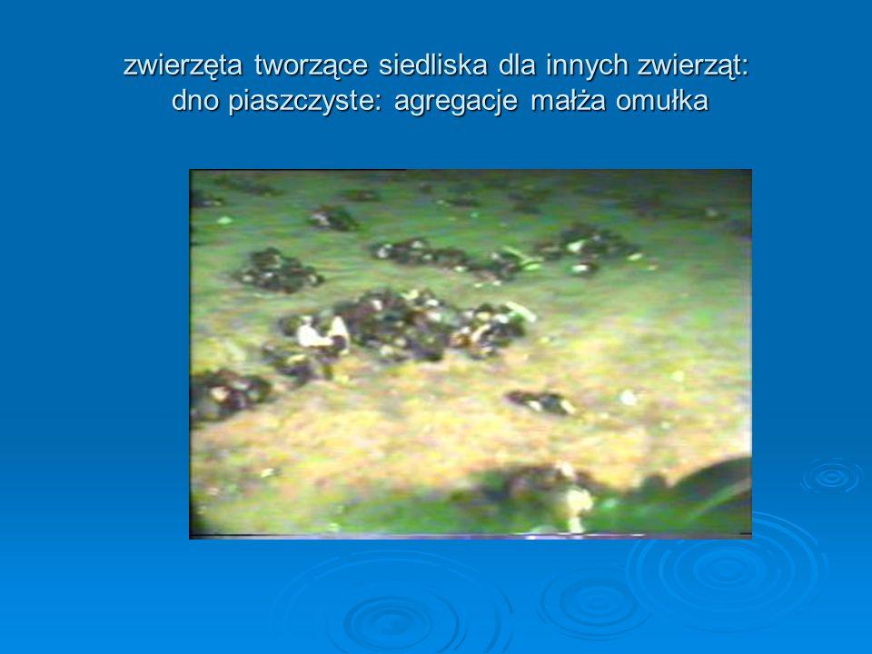 zwierzęta tworzące siedliska dla innych zwierząt: dno piaszczyste: agregacje małża omułka