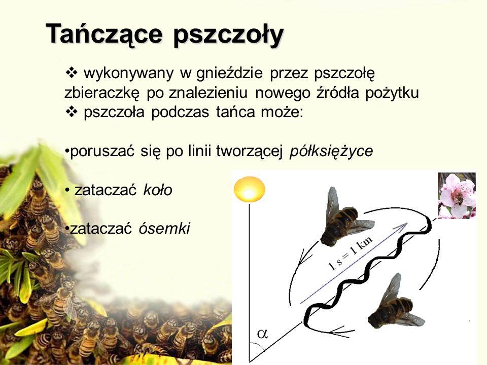 Tańczące pszczoły wykonywany w gnieździe przez pszczołę zbieraczkę po znalezieniu nowego źródła pożytku.