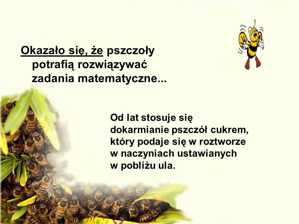 Okazało się, że pszczoły potrafią rozwiązywać zadania matematyczne...
