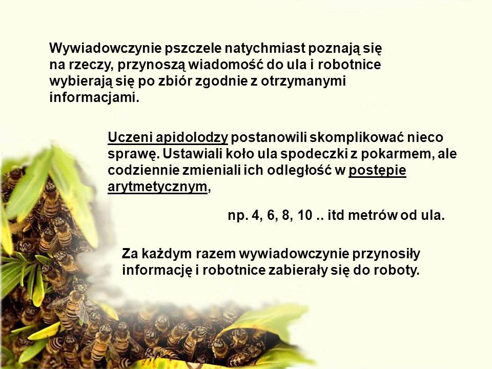 Wywiadowczynie pszczele natychmiast poznają się na rzeczy, przynoszą wiadomość do ula i robotnice wybierają się po zbiór zgodnie z otrzymanymi informacjami.