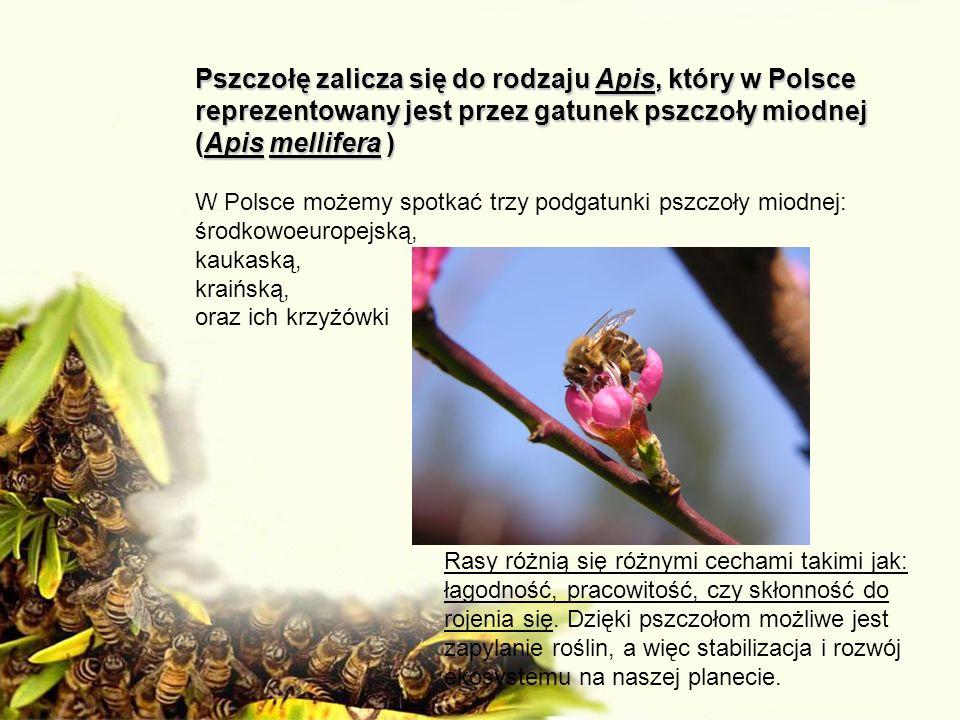 Pszczołę zalicza się do rodzaju Apis, który w Polsce reprezentowany jest przez gatunek pszczoły miodnej (Apis mellifera )