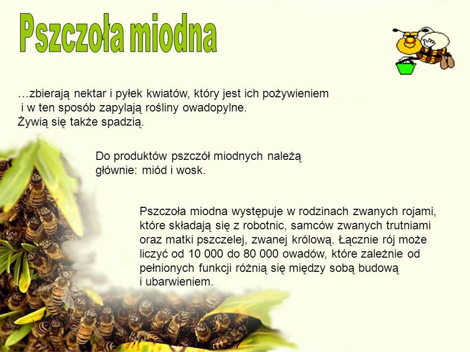 Pszczoła miodna …zbierają nektar i pyłek kwiatów, który jest ich pożywieniem. i w ten sposób zapylają rośliny owadopylne.