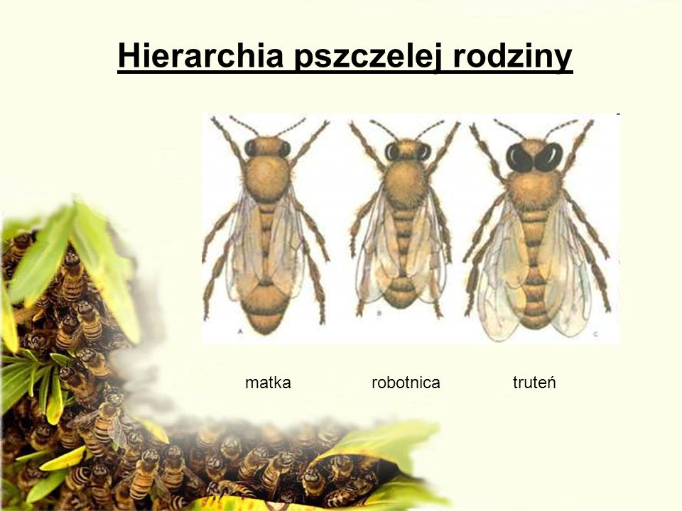 Hierarchia pszczelej rodziny