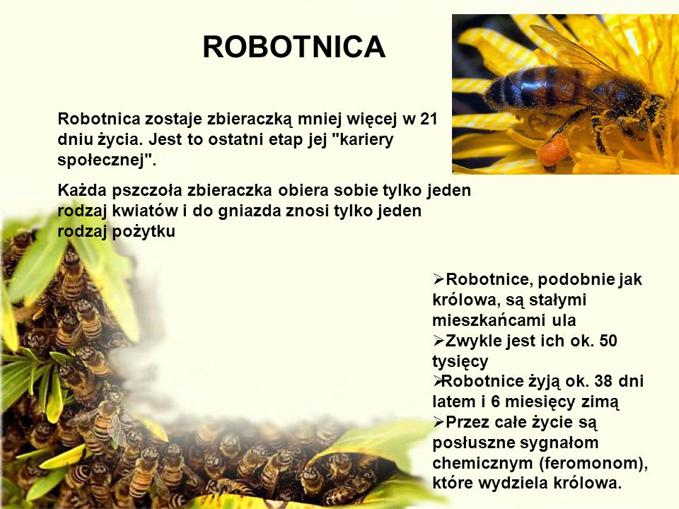 ROBOTNICA Robotnica zostaje zbieraczką mniej więcej w 21 dniu życia. Jest to ostatni etap jej kariery społecznej .
