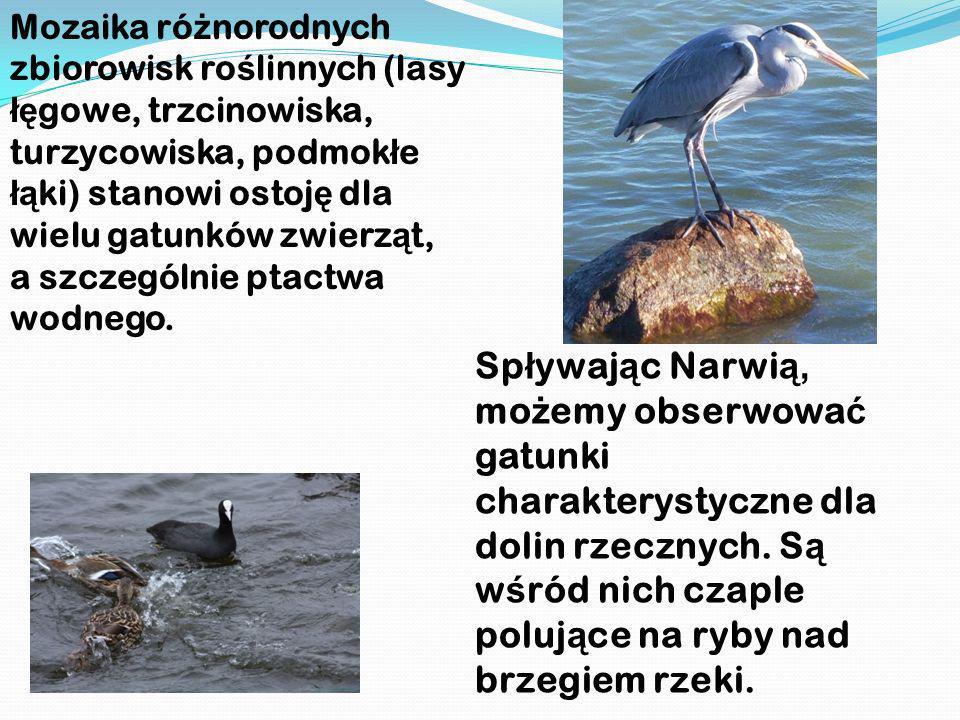 wśród nich czaple polujące na ryby nad brzegiem rzeki.