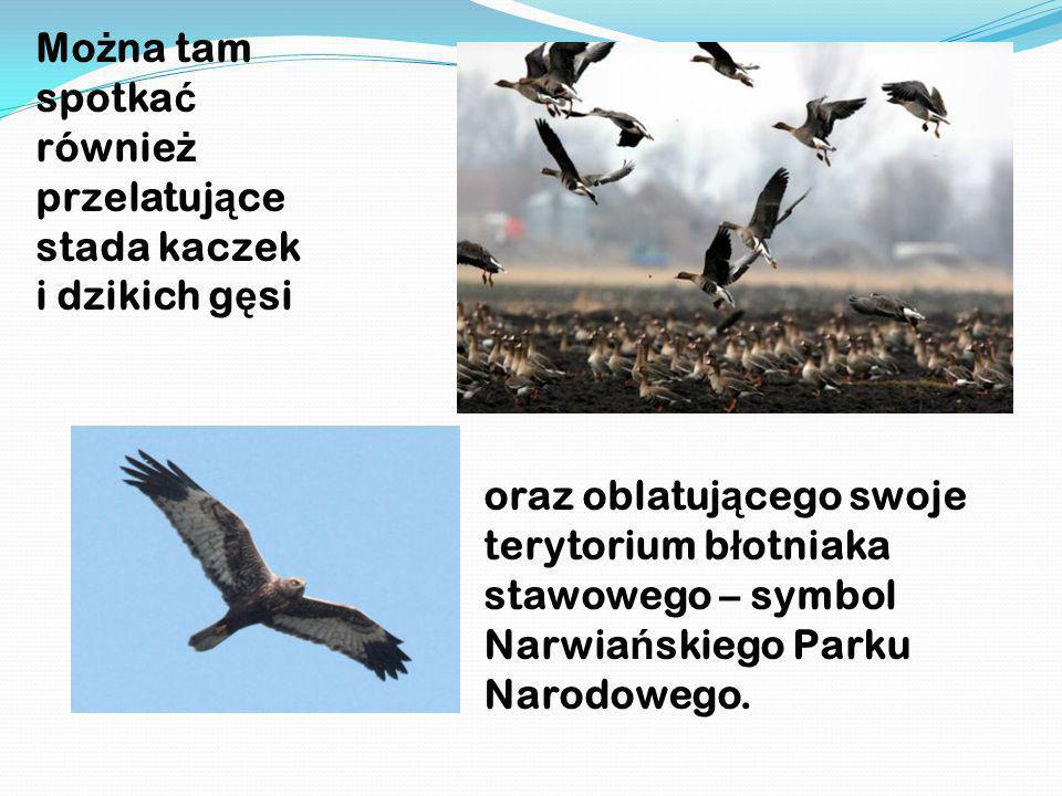 Można tam spotkać również przelatujące stada kaczek i dzikich gęsi