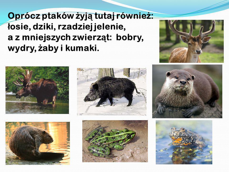 Oprócz ptaków żyją tutaj również: łosie, dziki, rzadziej jelenie, a z mniejszych zwierząt: bobry, wydry, żaby i kumaki.