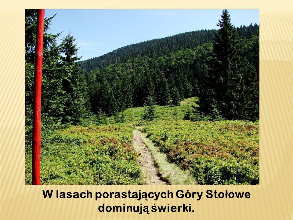 W lasach porastających Góry Stołowe dominują świerki.