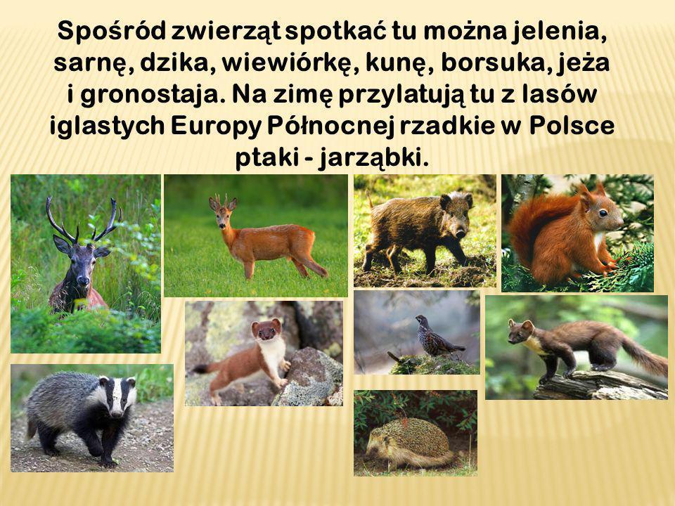 Spośród zwierząt spotkać tu można jelenia, sarnę, dzika, wiewiórkę, kunę, borsuka, jeża i gronostaja.